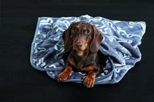 Dachshund in thorw blanket